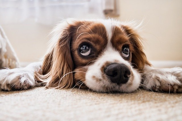 A dog that is lying down and looking at the camera